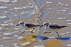 Twee kleine vogels op kust Royalty-vrije Stock Afbeeldingen