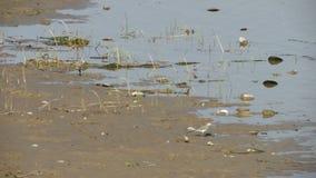 Twee kleine witte vogels op de kust van het moeras zoeken voedsel stock video