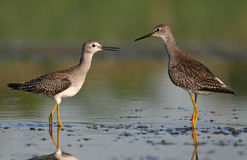 Twee kleinere yellowlegs Stock Foto's