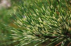 Twee kleuren pijnboom-naald van pijnboom-boom Stock Fotografie