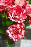 Twee kleuren Rode en witte rozen Stock Afbeeldingen