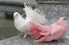 Twee kleurrijke duiven op een verschansing Royalty-vrije Stock Fotografie