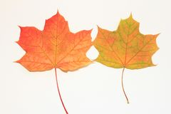 Twee kleurrijke esdoorns Royalty-vrije Stock Foto's