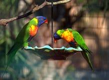 Twee Kleurrijke Lorikeets die van een Voeder eten stock foto