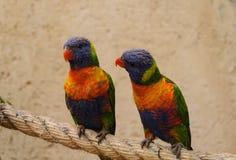 Twee kleurrijke papegaaien Royalty-vrije Stock Foto