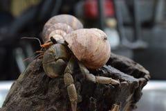 2 twee kluizenaarkrabben vonden hun manierhuis bij zwarte Japanse slakshell Royalty-vrije Stock Afbeeldingen