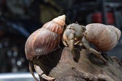 2 twee kluizenaarkrabben vonden hun manierhuis bij zwarte Japanse slakshell Stock Foto