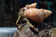 2 twee kluizenaarkrabben vonden hun manierhuis bij zwarte Japanse slakshell Stock Foto's