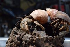 2 twee kluizenaarkrabben vonden hun manierhuis bij zwarte Japanse slakshell Royalty-vrije Stock Foto