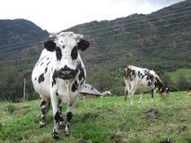 Twee koeien één looknig de camera Royalty-vrije Stock Foto