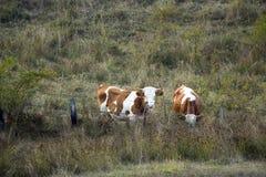 Twee koeien Stock Foto's