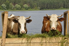 Twee koeien Royalty-vrije Stock Afbeeldingen