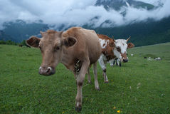 Twee koeien Stock Fotografie