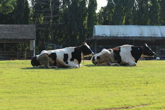 Twee koeien Royalty-vrije Stock Afbeelding