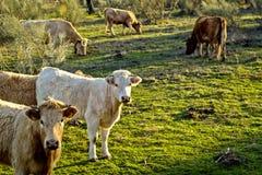 Twee koeien die naar camera onder een grote groep kijken Stock Foto's