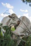 Twee koeien in een weide Royalty-vrije Stock Afbeelding