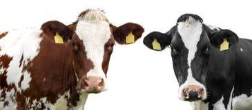 Twee koeien op een geïsoleerd wit stock foto's