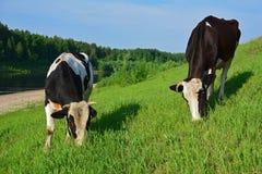 Twee koeien op een gebied Royalty-vrije Stock Foto's