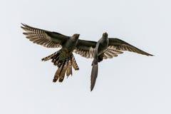 Twee koekoeksvogels stock afbeelding