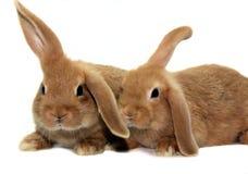 Twee konijnen Royalty-vrije Stock Afbeeldingen