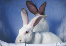 Twee konijnen 2 Stock Afbeelding