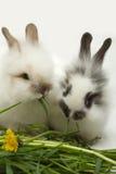 Twee konijnen royalty-vrije stock fotografie