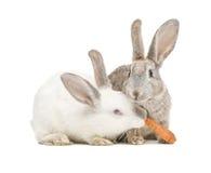Twee konijnen die een wortel eten Stock Afbeeldingen