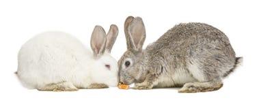 Twee konijnen die een wortel eten Royalty-vrije Stock Foto