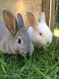 Twee konijnen in een kooi Stock Afbeeldingen