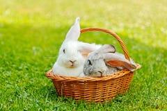 Twee konijnen in mand stock afbeeldingen