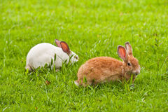 Twee konijnen op gras Stock Foto's