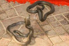 Twee Koning Cobras Facing Each andere met Geflakkerde Kappen stock foto's