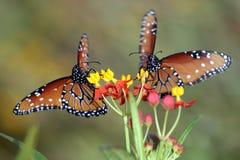 Twee Koningin Butterflies Stock Foto
