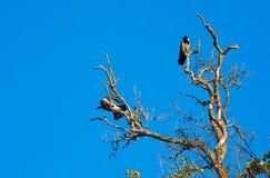 Twee kraaien die op de droge boom zitten Stock Fotografie