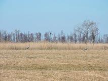 Twee kraanvogels op gebied, Litouwen Stock Foto's