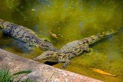 Twee krokodillen Stock Foto