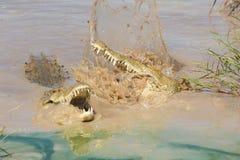Twee krokodillen die van Nijl, Zuid-Afrika vechten Stock Afbeelding