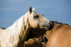 Twee kwart paarden Royalty-vrije Stock Afbeeldingen