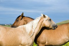 Twee kwart paarden Royalty-vrije Stock Foto