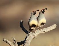 Twee Kwartels op een tak Royalty-vrije Stock Fotografie