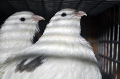 Twee kwartels van Texas in een kooi met andere vogels Stock Fotografie