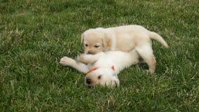 Twee Labrador en puppyhond die worstelen spelen stock footage