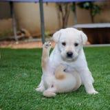 Twee Labrador retrieverpuppy Royalty-vrije Stock Fotografie