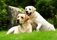 Twee Labradors Royalty-vrije Stock Afbeelding