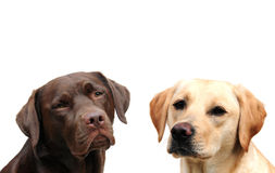 Twee labradors Royalty-vrije Stock Afbeeldingen