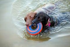 Twee labradors die met frisbee zwemmen Stock Foto's