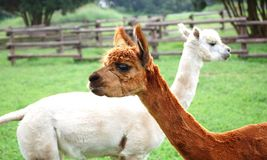 Twee Lama's royalty-vrije stock fotografie