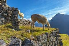 Twee lama's in Machu Picchu, Cusco, Peru royalty-vrije stock foto's