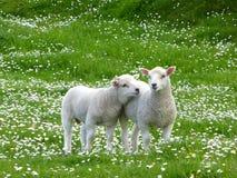 Twee lammeren in bloembed Stock Foto