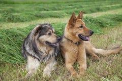 Twee landbouwbedrijfhonden Stock Afbeelding